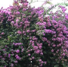 formosa lilacimg1521_33593992.jpg