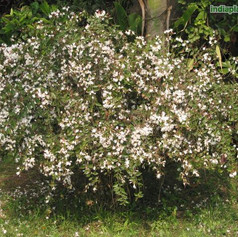 Jasminum nitidumimg1246_6881.jpg