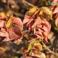 Acalypha wilkesiana rosea dwarfimg963_33