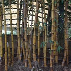 Bambusa vulgaris tiger golden bambooimg4