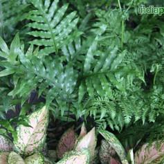 Polypodium species 2img2283_33583320.jpg