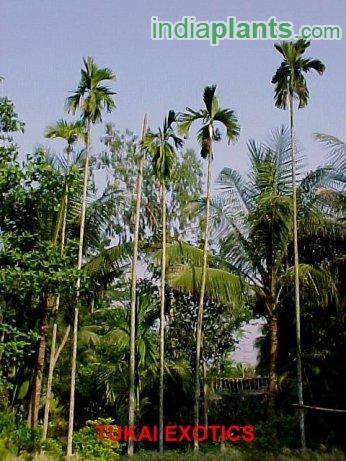 Areca catechu Betel Nut Palm_2.jpg