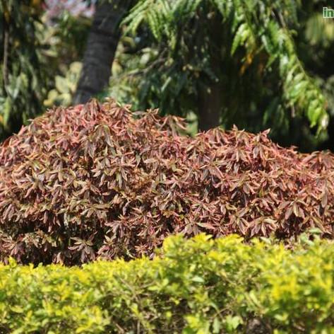 Acalypha godseffiana compactaimg959_3357