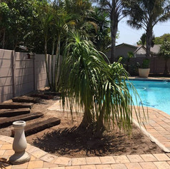 Ponyplant-relocation-ponytail-palm-pool-