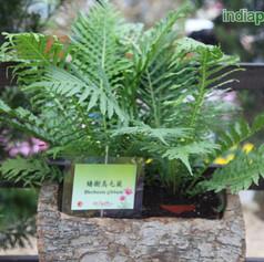 Blechnum, Pygmy Tree Fernimg1932_3358165