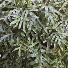 Polypodium species 2img584_33576043.jpg