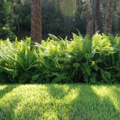 Ferns doneimages.jpg