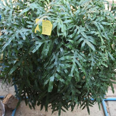 Polypodium species 2img584_33576042.jpg