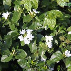 Jasminum sambac mograimg2616_33589748.jp