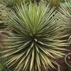 Yucca aloifoliaimg2895_33597292.jpg
