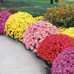 S Chrysanthemum Dendranthema088b155047ba