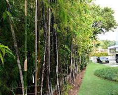 Bambooimages.jpg