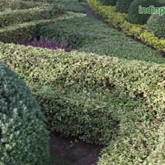 Acalypha siamensis variegata hedge acaly