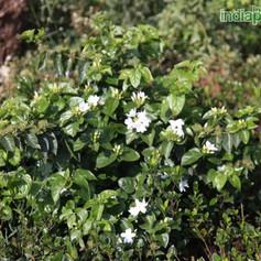 Jasminum sambac mograimg2616_33589747.jp