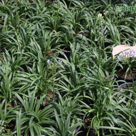 Agapanthus africanus minor dwarf lily tu