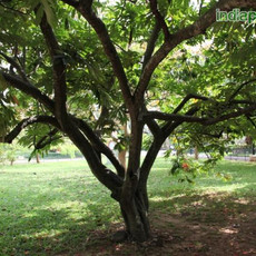 Amherstia nobilis rareimg1745_33601828.j