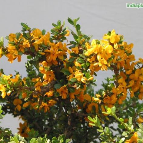 Brya ebenus, Asplanthus ebenusimg387_111