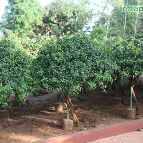 Jasminum flexile sayaliimg316_33597626.j