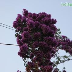 formosa lilacimg1521_33593991.jpg