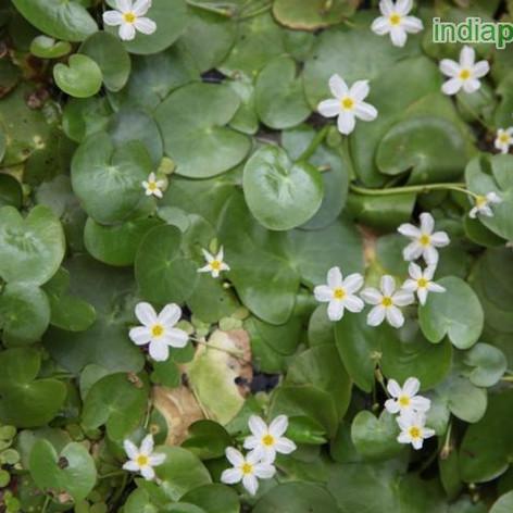 Nymphoides indica Floating Heartsimg2967