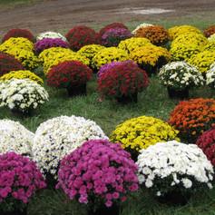 S Chrysanthemum Dendranthemagarden-mums.