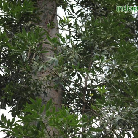 Agathis robusta Queensland Firimg2163_33