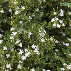 Jasminum auriculatumimg1237_33592626.jpg