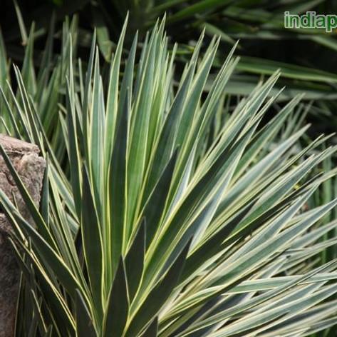 Yucca aloifoliaimg2863_33598764.jpg