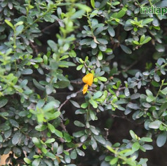 Brya ebenus, Asplanthus ebenusimg387_335