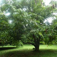 Amherstia nobilis rare768px-Amherstia_no