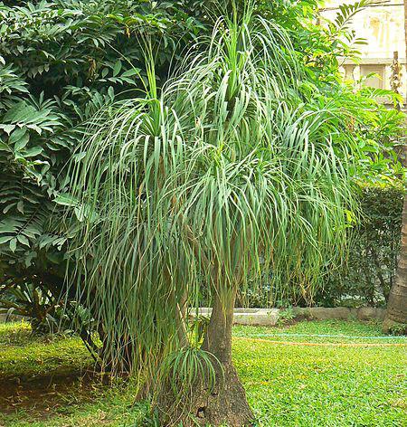 PonyPonytail-Palm.jpg
