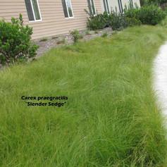 Carexcarex sledge.jpg