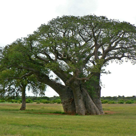 Adansonia digitata Baobab, Monkey Bread5