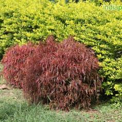 Acalypha godseffiana compactaimg959_3359