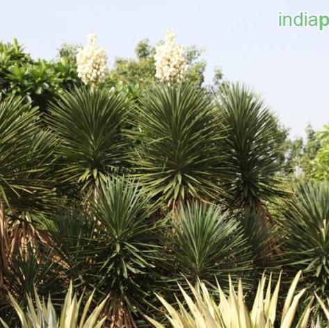 Yucca aloifoliaimg16_33596031.jpg