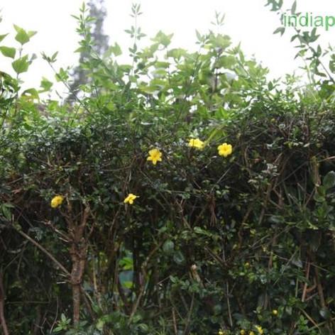 Jasminum humile yellowimg3159_33600792.j