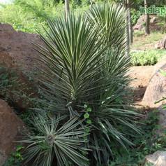 Yucca aloifoliaimg2863_33595886.jpg