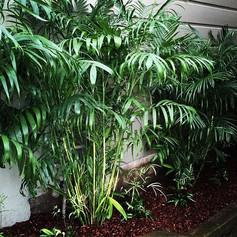 BambooBamboo palm.jpg