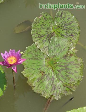 Nymphaea water lilyimg2014_33579828.jpg