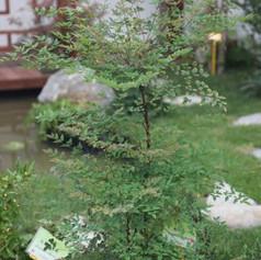 Nandina domestica heavanly bambooimg2199