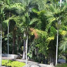 Areca catechu Betel Nut Palm_1.jpg
