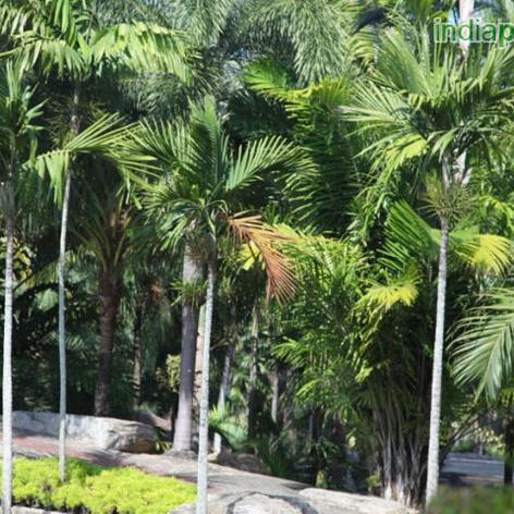 Areca catechu Betel Nut Palm_1.jpg