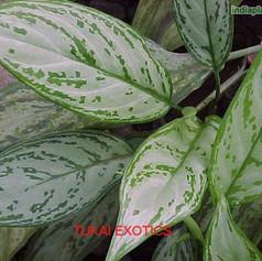 Aglaonema commutatum silver queenimg131_