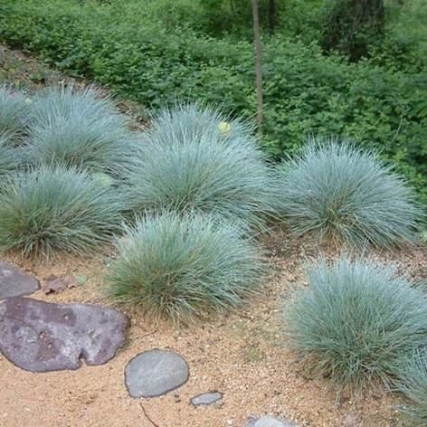 Festuca glauca blue fescue43b4437b585f42