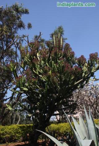 Euphorbia cooperiimg1975_33578818.jpg