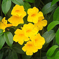 Adenocalymma comosum yellow garlic creep