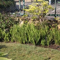 Nephrolepis acuminataimg648_33575641.jpg