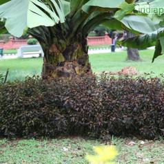 Acalypha species copperleaf Mini Brownim