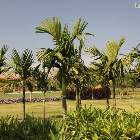 Areca catechu Betel Nut Palm.jpg