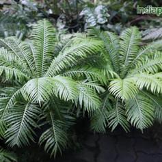Blechnum, Pygmy Tree Fernimg1932_3358550